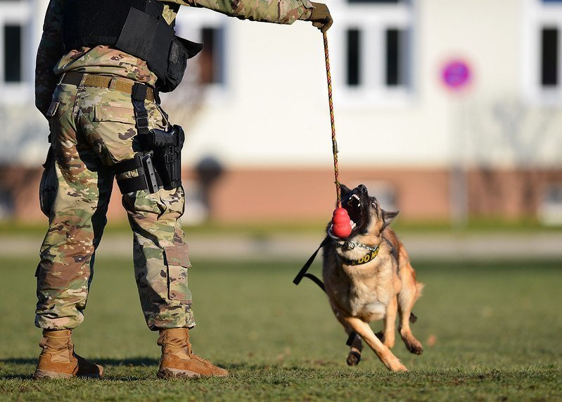 A Military Working Dog in training